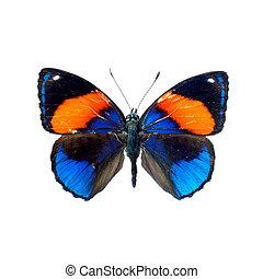 蝴蝶, 定義, 高, 白色, 背景