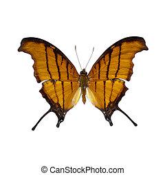 蝶, 定義, 高く, 白, 背景