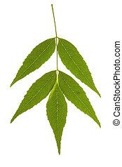 Ash tree leaf on isolated - Ash tree leaf isolated on the...