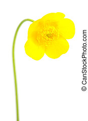 yellow buttercup isolated on white