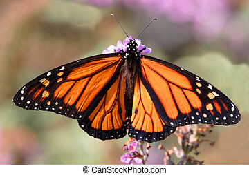 Monarch Butterfly (danaus plexippus) on purple flowers