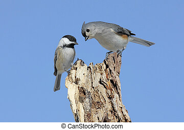 Two Birds On A Stump - Tufted Titmouse baeolophus bicolor...