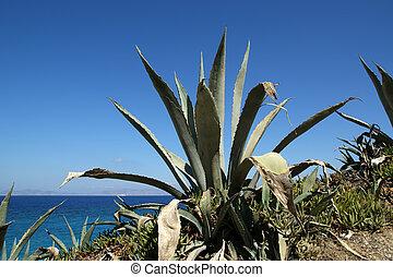 algunos, mar,  Agaves