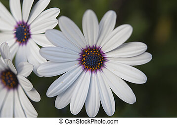 African Daisy Flowers - White african daisy flowers in the...