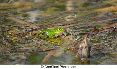 Green frog sitting in a pond, lake