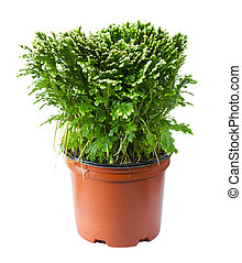 decorative fern in a pot isolated on white