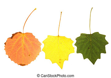 colorful aspen leaves - aspen leaves on isolated