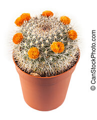 flowering cactus isolated on white background.
