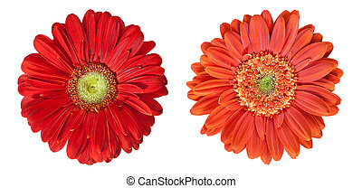two gerbera flowers in high resolution isolated on white