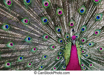 Psychedelic Peacock 1 - Peacock with his tail feathers on...