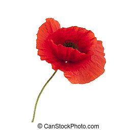 red poppy - red poppies isolated on white