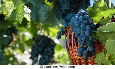 Dark Blue Grapes In Wicker Basket - Fresh Dark Blue Grapes...