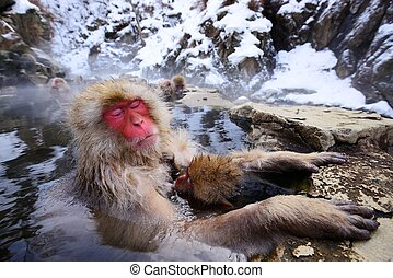 Japanese Snow Monkey - A Japanese Macaque relaxes in the hot...
