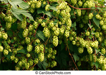 green hop cones as very nice natural background