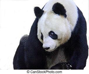 Giant Panda - Giant panda
