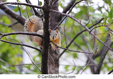 Eastern Fox Squirrel - Eastern fox squirrel, Sciurus niger,...