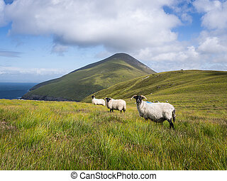 Sheep on Achill Island, Ireland - Three sheep looking into...