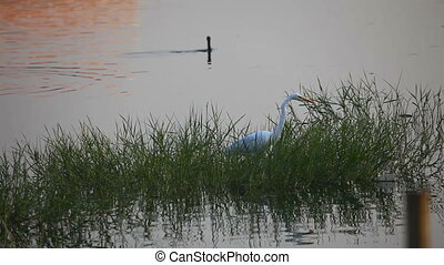Shallow lake. - A heron and a gannet in the shallow lake....