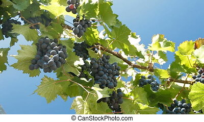 Dark Blue Grapes On The Vine