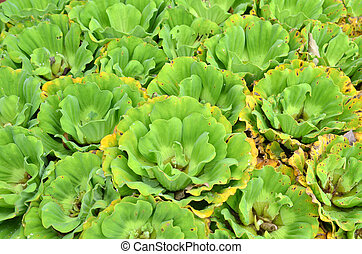 Water Cabbage on the water