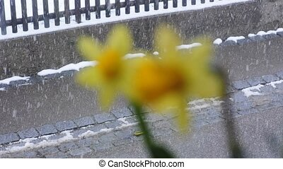 Daffodil with falling snow