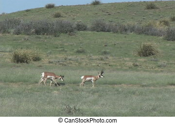 Antelope Bucks - a group of pronghorn antelope bucks on the...