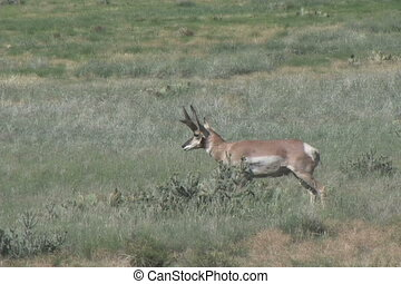 Big Buck Pronghorn Antelope