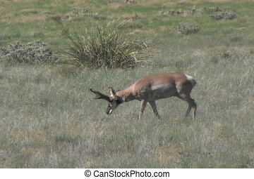 Pronghorn buck - a big pronghorn antelope buck on the...