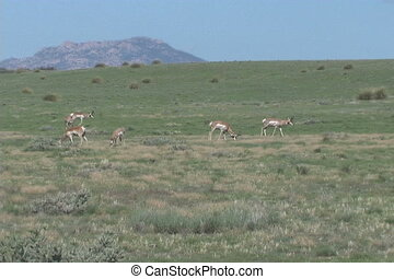 Pronghorn Herd