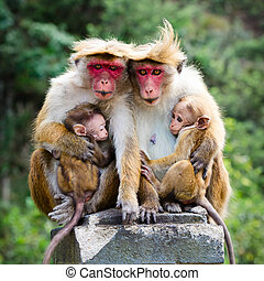Monkey family with two babies Red faces macaque Macaca...