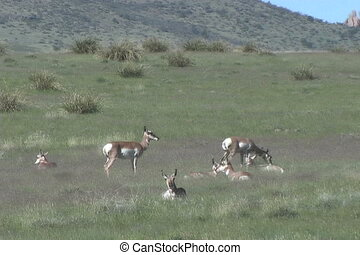Antelope Herd - a pronghorn antelope herd on the prairie