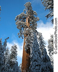 Grant Christmas Tree in Winter Snow - General Grant Tree in...