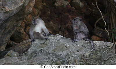 Wildlife  - Pair of monkey sitting on stone. Wildlife