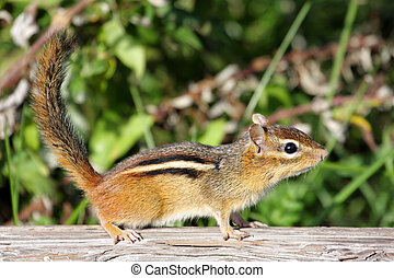 Eastern Chipmunk (Tamias striatus) on a log