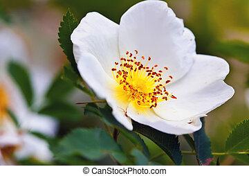 brier flower