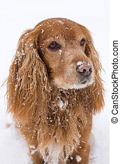 Cocker Spaniel - beautiful Cocker Spaniel in winter