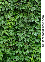 Background Texture Of Lush Vegetation On A Hedge