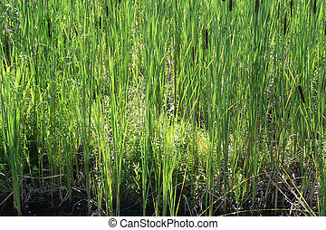 Small cattails or bullrushes - Young bullrushes starting to...