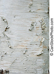 Birch bark tree trunk close up