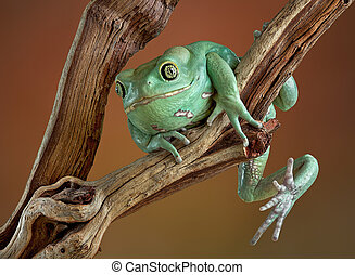 Waxy tree frog on branch