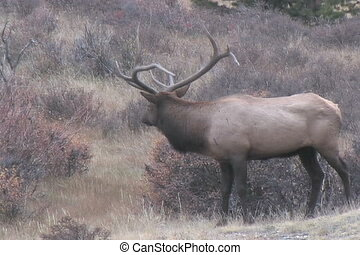 Bull Elk in rut - a big bull elk in rut