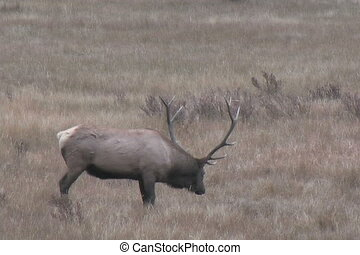 Bull Elk - a bull elk shows rutting behavior