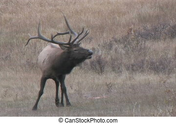 Bull Elk - a rutting bull elk in a mountain meadow