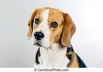 Beagle dog - Portrait of cute beagle dog on simple...