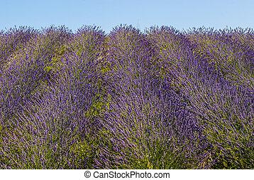 Conero Ancona - Field of lavender - Conero Ancona, Marches,...
