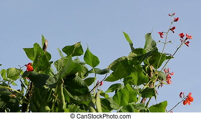 red bean bloom move sky - red bean blooms and leaves move in...