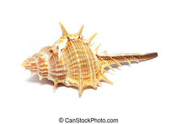 Thorn Conch Shell - A thorn conch shell isolated on white...