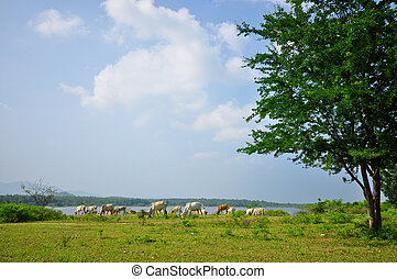 Group of cows grazing on green meadow with blue cloudy sky
