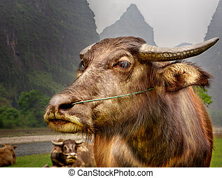 The Guilin landscape pictures - Guilin Li River. Buffalo...