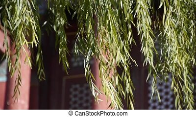 willow shaking in wind at the Forbidden City.Chinese ancient...